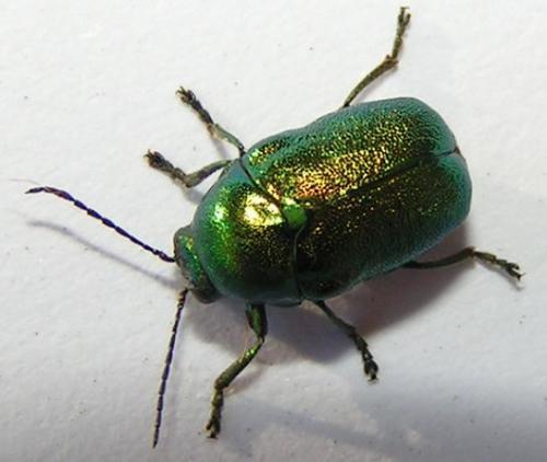http://www.galerie-insecte.org/galerie/image/big/cetoine_verte_jp.jpg