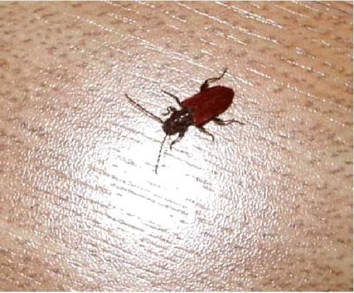 pyrrhidium sanguineum coleoptere xylophage le monde des insectes. Black Bedroom Furniture Sets. Home Design Ideas