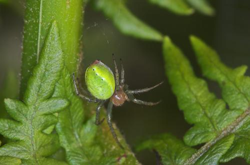 araniella sp araign e jaune et verte le monde des insectes. Black Bedroom Furniture Sets. Home Design Ideas