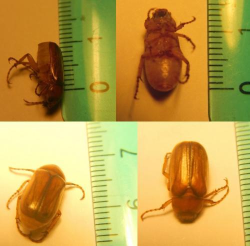Amphimallon Sp Insecte Volant à Identifier Le Monde Des Insectes