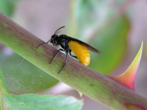 Arge pagana petite mouche noire abdomen jaune orang - Mouche jaune et noire ...