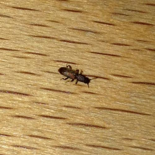 insecte de petite taille pr sent dans une cuisine le monde des insectes. Black Bedroom Furniture Sets. Home Design Ideas