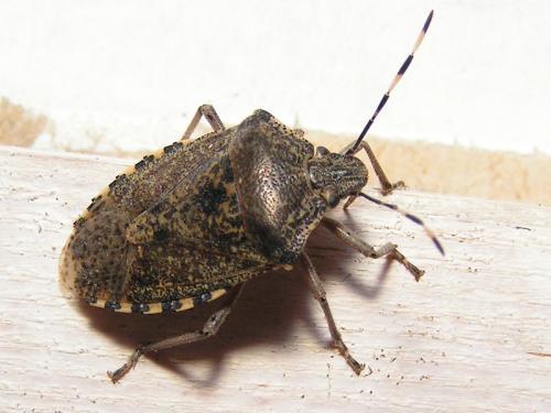 rhaphigaster nebulosa punaise dor e le monde des insectes. Black Bedroom Furniture Sets. Home Design Ideas