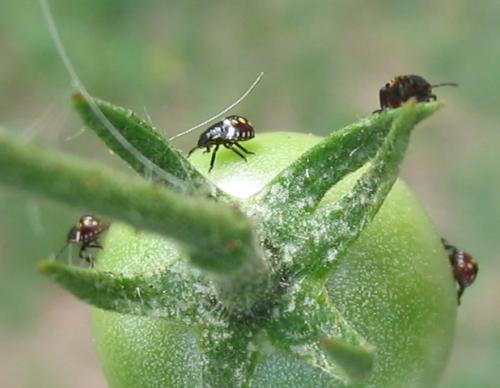 Nezara viridula qui sont ces insectes sur les tomates - Vers dans les cerises ...