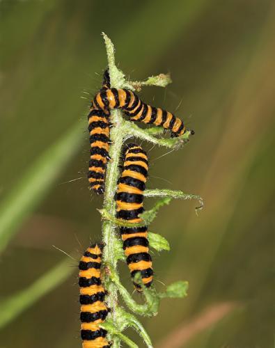 Tyria jacobaeae chenille jaune et noire le monde des insectes - Chenille jaune et noire danger ...