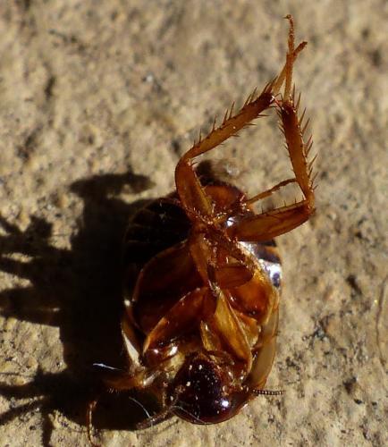 loboptera canariensis a ressemble une punaise de lit le monde des insectes. Black Bedroom Furniture Sets. Home Design Ideas