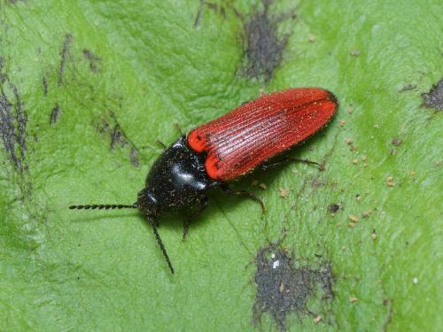 Ampedus sp taupin rouge et noir le monde des insectes - Insecte rouge et noir ...