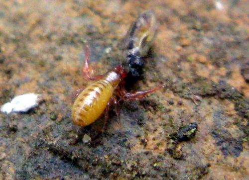 Pseudoscorpiones chthonius sp pseudoscorpion le monde des insectes - Taille d un chataignier ...