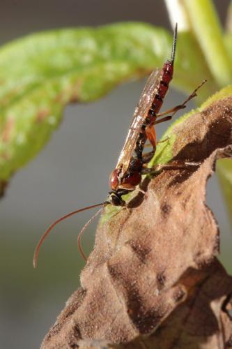 tromatobia lineatoria tromatobia lineatoria femelle le monde des insectes. Black Bedroom Furniture Sets. Home Design Ideas
