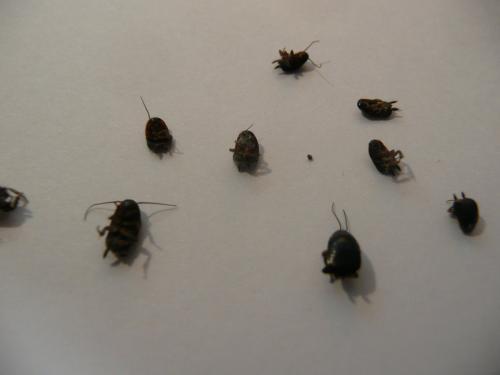 Loboptera sp neophite a l 39 aide le monde des for Insecte attaquant le bois