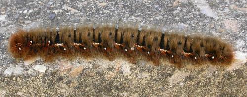 R�f. 114286 : Lasiocampa quercus