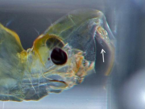 www.galerie-insecte.org/galerie/image/dos114/big/labral_blade_ret.jpg
