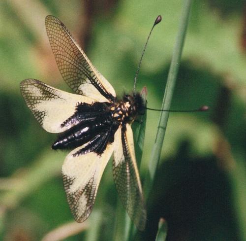 R�f. 114789 : Libelloides coccajus