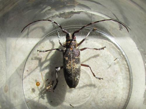 monochamus galloprovincialis capricorne le monde des insectes. Black Bedroom Furniture Sets. Home Design Ideas