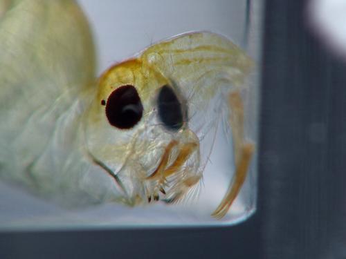 www.galerie-insecte.org/galerie/image/dos114/big/mandibules_ret.jpg