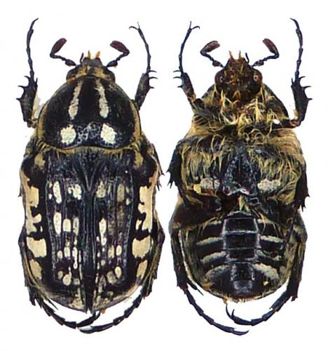 [Thyreogonia costata] Cetoniidae d'Algérie Cetoniidae_alger