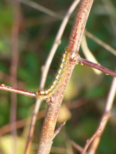 R�f. 116588 : Lasiocampa quercus