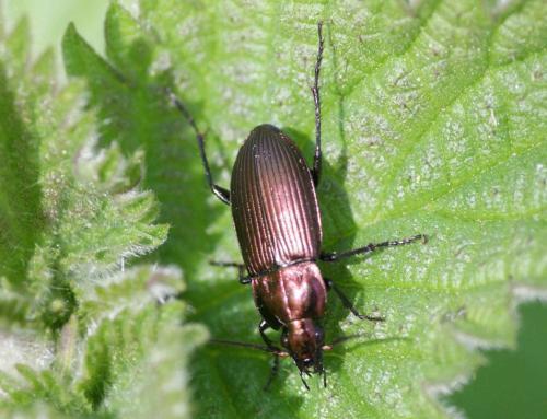 R�f. 118162 : Poecilus cupreus