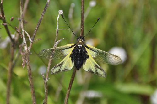 R�f. 118949 : Libelloides coccajus