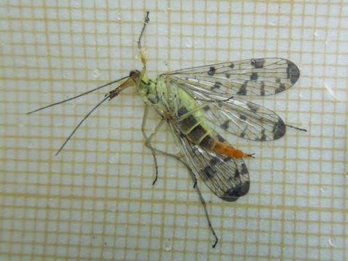 R�f. 119153 : Panorpa germanica