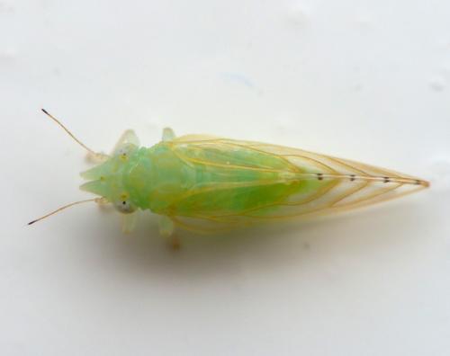 spanioneura fonscolombii psyllidae du buis le monde des insectes. Black Bedroom Furniture Sets. Home Design Ideas