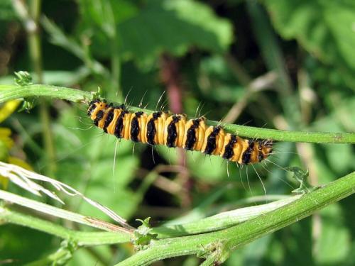 Tyria jacobaeae chenille orange ray e de noir le monde des insectes - Chenille orange et noir ...