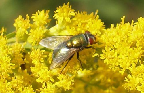 Lucilia sp mouche merde ou mouche fleur le monde des insectes - Invasion de mouches vertes ...