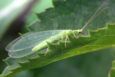 Bộ sưu tập côn trùng 2 - Page 24 Chrysoperla_sp