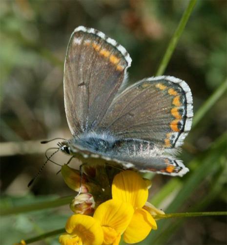 R�f. 120628 : Polyommatus bellargus