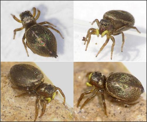 R�f. 124 692 : Heliophanus tribulosus