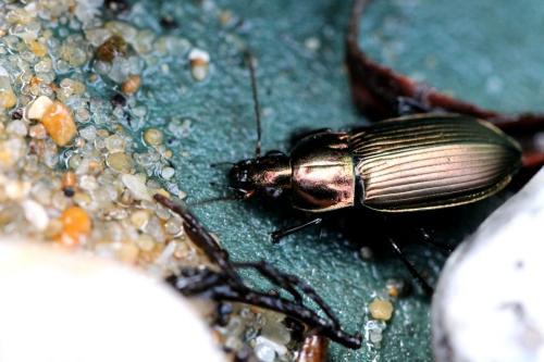 R�f. 125891 : Poecilus cupreus