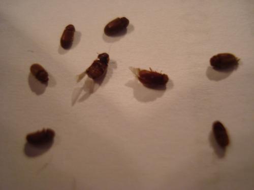 anobiidae nombreuses petites b tes le monde des insectes. Black Bedroom Furniture Sets. Home Design Ideas
