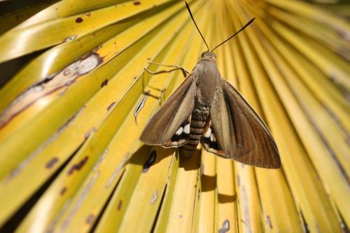 paysandisia archon gros papillons autour de mon palmier le monde des insectes. Black Bedroom Furniture Sets. Home Design Ideas
