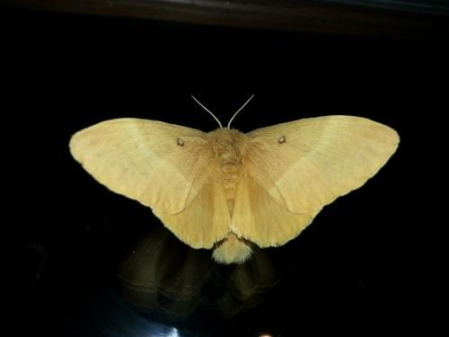 R�f. 126424 : Lasiocampa quercus