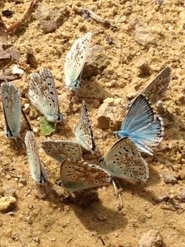 R�f. 126079 : Polyommatus coridon
