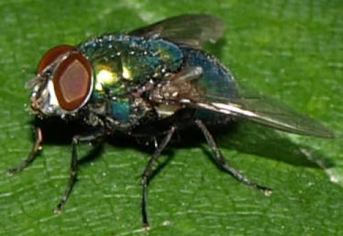 Lucilia caesar une mouche verte le monde des insectes - Invasion de mouches vertes ...