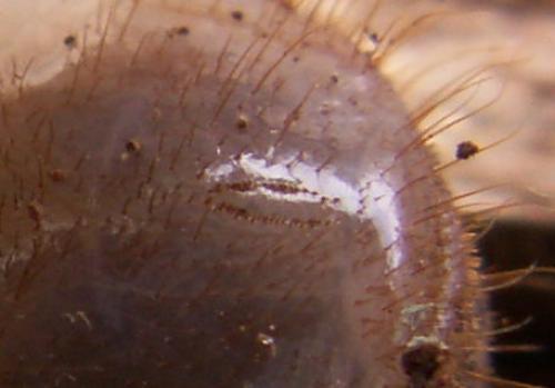 R�f. 126 325 : Cetonia aurata