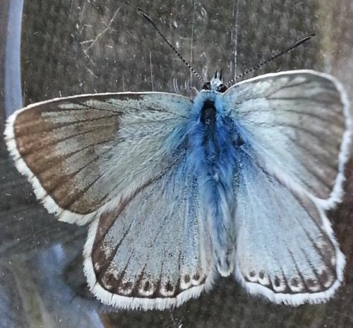 R�f. 127277 : Polyommatus coridon