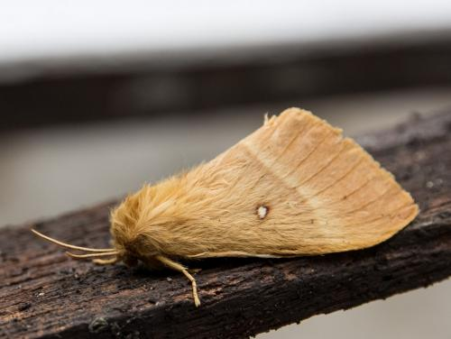 R�f. 127208 : Lasiocampa quercus