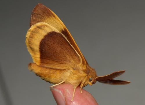R�f. 128916 : Lasiocampa quercus