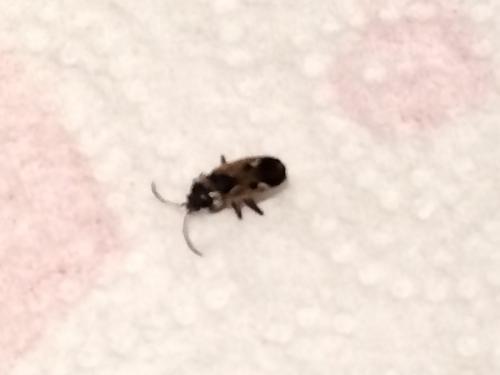 rhyparochromus vulgaris] petite bête noire - le monde des insectes