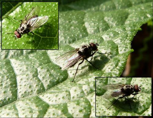 anthomyia sp petite mouche blanche et noire le monde des insectes. Black Bedroom Furniture Sets. Home Design Ideas