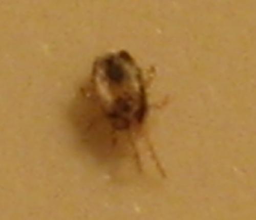 mesostigmata dermanyssoidea identification insecte qui pique le monde des insectes. Black Bedroom Furniture Sets. Home Design Ideas