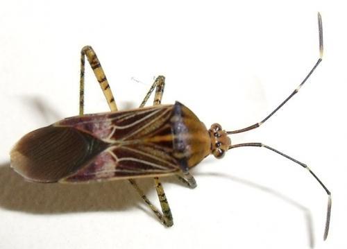 Hypselonotus sp guyane petit insecte proche du cafard le monde des insectes - Cafard de maison ...