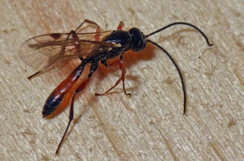 cryptinae phygadeuontini ichneumonidae abdomen rouge. Black Bedroom Furniture Sets. Home Design Ideas