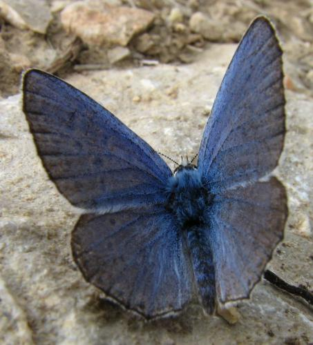 R�f. 134 202 : Polyommatus bellargus