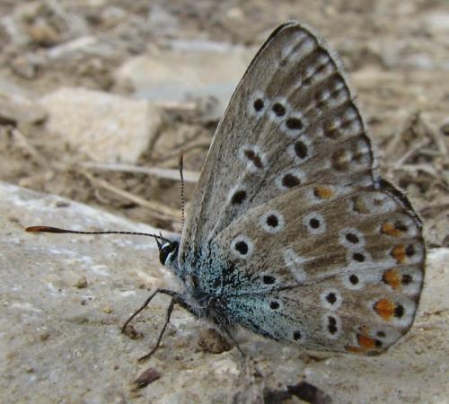R�f. 134 203 : Polyommatus bellargus