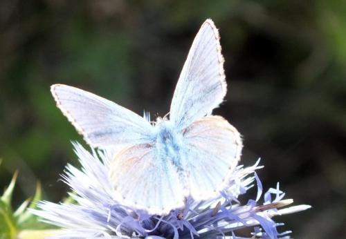 R�f. 137 186 : Polyommatus bellargus