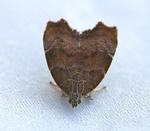 choreutis nemorana quelle chenille le monde des insectes. Black Bedroom Furniture Sets. Home Design Ideas