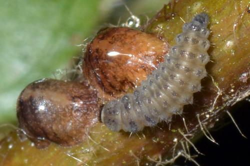 Rhyzobius sp larve de coccinelle gris jaune le monde des insectes - Larve de coccinelle ...